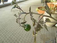 12月のプチトマト