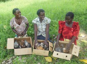 ウガンダ養鶏
