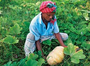 バングラデシュの畑で収穫する人