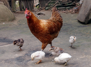 養鶏でも収入を得る